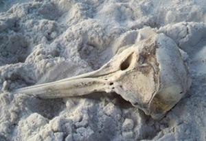 Dolphin Skull on Navarre Beach